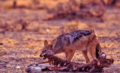 Black-backed jackal eating from gemsbok carcass