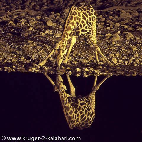 giraffe drinking at Etosha