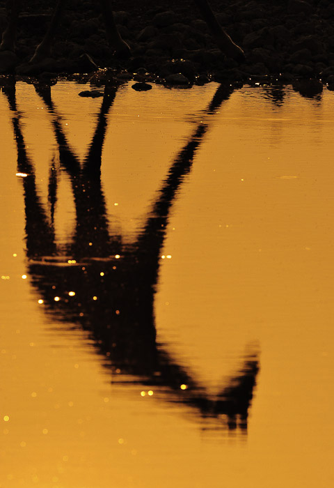 giraffe reflection at Okaukuejo waterhole in etosha