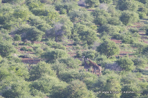 giraffe photo taken with polarizor