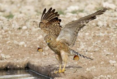 Greater Kestrel with butterflies