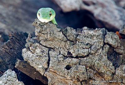 Green Mamba or Spotted Bush Snake