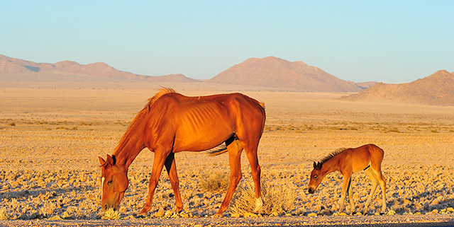 Namib wild horse mother with baby