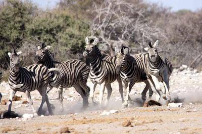 Zebra active