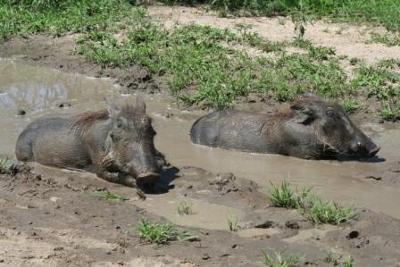 Warthogs at Renosterkoppie Dam