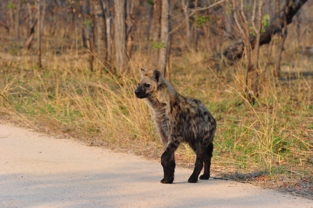 young hyena near Pretoriuskop