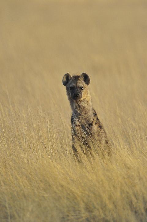 hyena near halali in etosha