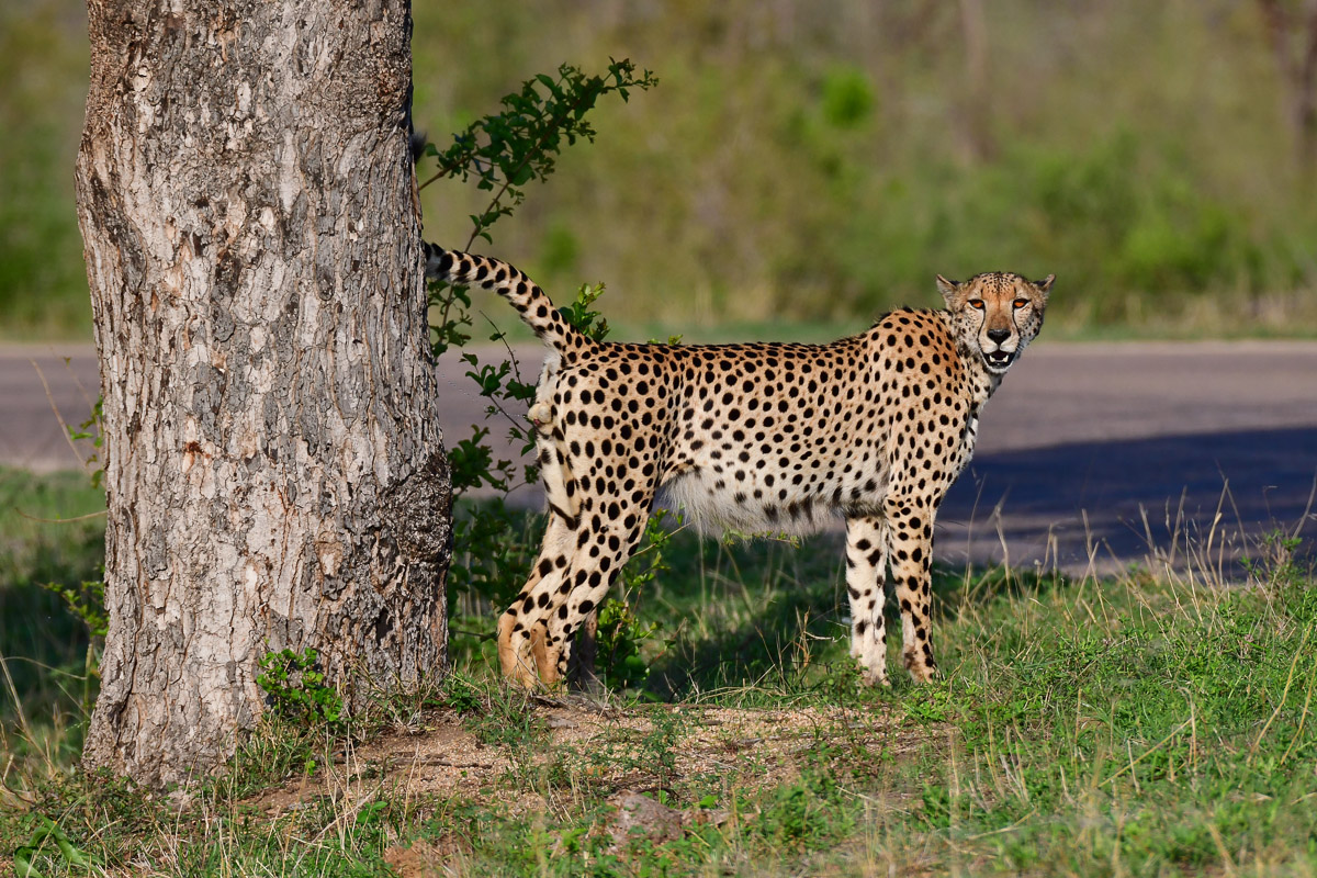 Cheetahs Of The Kruger National Park Are Not Easy To Find