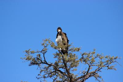 The Martial Eagle at rooiputs