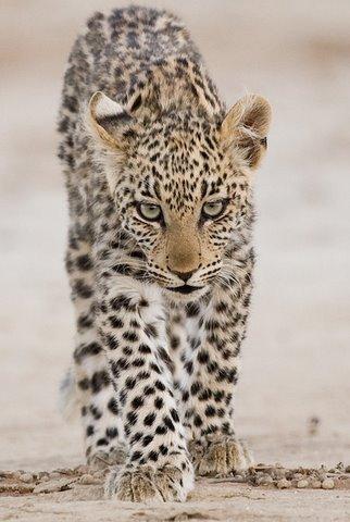 leopard cub near Twee Rivieren camp