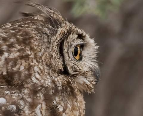 kgalagadi owl