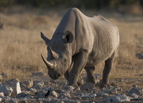 black rhino at Etosha