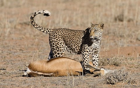 leopard kill in the kgalagadi