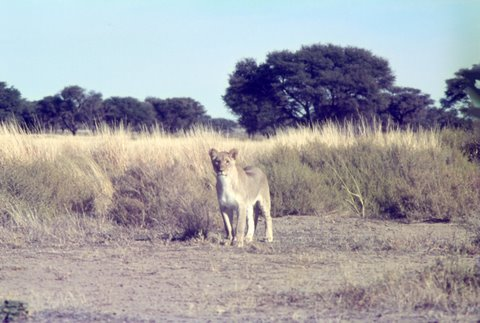 lion at Kwang waterhole Kgalagadi