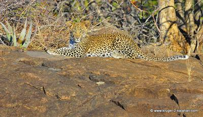 Leopard cub at Shimuwini camp