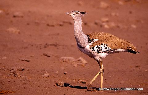 Kori Bustard in Kruger park