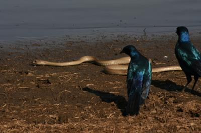Starlings taking on a snake on its way to the water.