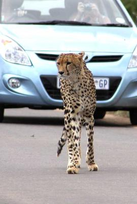 Cheetah with blue car