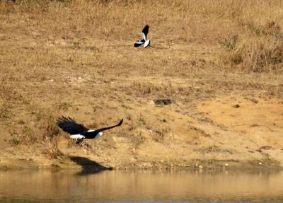 Fish eagle chasing plover