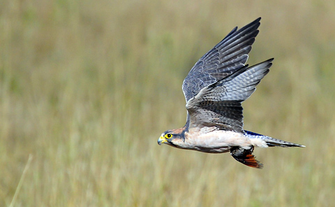 Lanner falcon with Namaqua dove kill