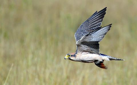 Lanner falcon with Namaqua dove kill