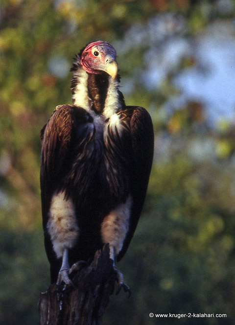 Lappetfaced vulture in Kruger Park