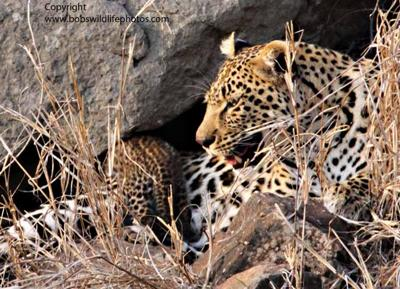Leopaard with cub 3