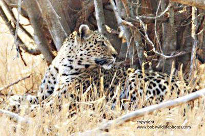 Leopard first notices something...