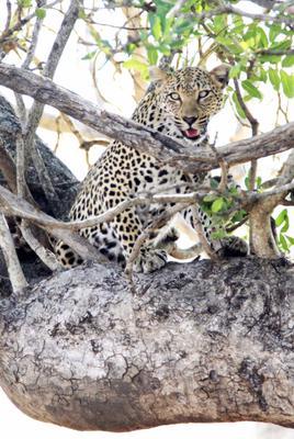 leopard in tree 2