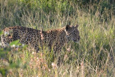 Leopard at 'red rocks' Pilanesberg