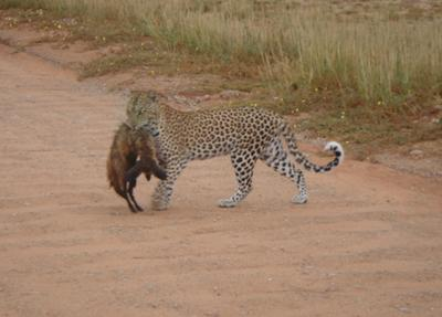 Leopard with bat eared fox ..taken in Kalahari