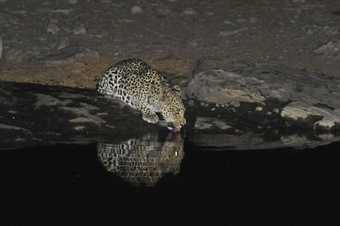 leopard drinking at night at Moringa waterhole in Halali camp