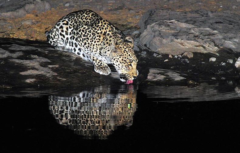 Resident leopard drinking at Moringa waterhole, Etosha