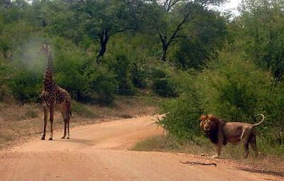 Lion and Giraffe