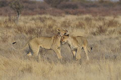 lion cubs playing in Etosha