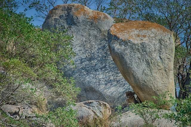 spot the lion