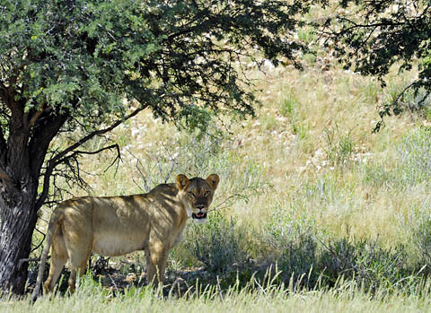 lioness in Kgalagadi