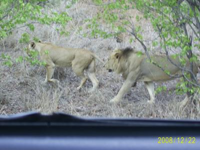 Lions near Mopani Camp