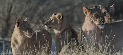 Lions at gemsbok kill