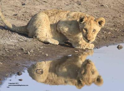 One cub drinking