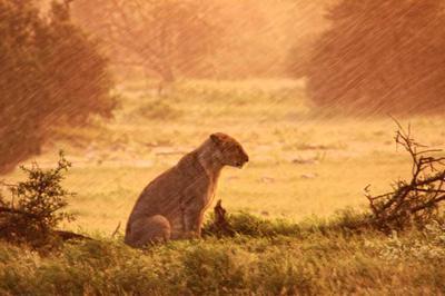 Lion in the rain 1