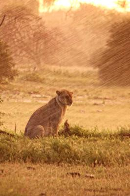 Lion in the rain 4