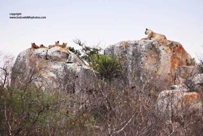 Lions on boulders near Nkumbe