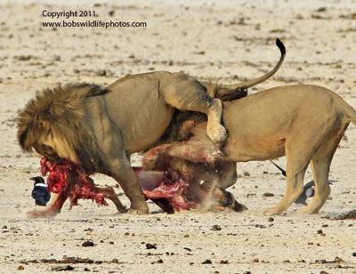 Lion lifting lion