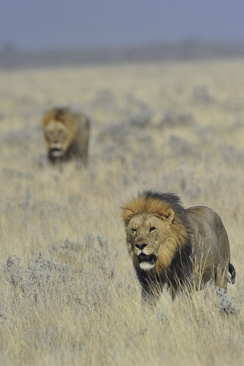 two male lions near Nebrownii waterhole in etosha