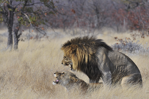 Mating lions in etosha