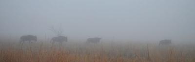 Wildebeest in the Mist