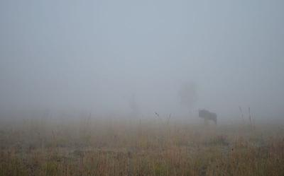 A Wildebeest in the Mist