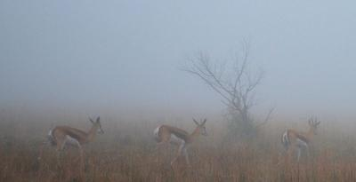 Springbok in the Mist
