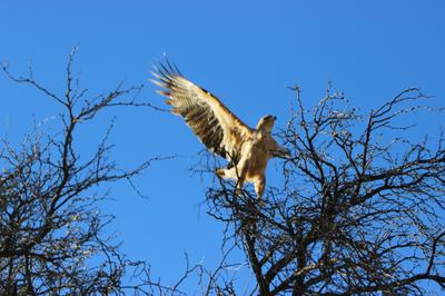 Martial eagle at entrance to Rooiputs Lodge.